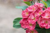Close up Euphorbia milli Desmoul flower — Stock Photo