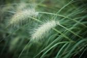Texture of savage grass closeup — Stock Photo