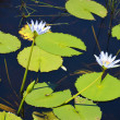 Waterlily in flower in a aquatic garden — Stock Photo #66067955