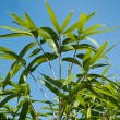Bamboo leaves on blue sky background — Stock Photo #70079779