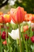 Group of orange Tulips in a tulips field — Stock Photo