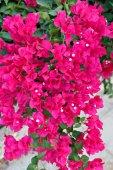 Pembe begonviller çiçekler — Stok fotoğraf