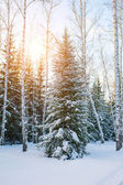 Cold  winter day in the snowy winter forest. Spruce tree under the snow, sunshine glow — Stock Photo
