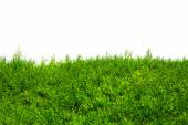 Green Hedge of Thuja Trees (cypress, juniper). Green bush hedge isolated on white with space for text. Copy space — Stock Photo