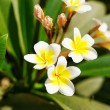 Beautiful plumeria flowers blossom in the frangipani tree — Stock Photo #62794549