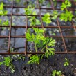 Young plants seedlings carrot under safe metal grid. — Stock Photo #67038033