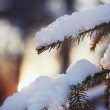 Beautiful christmas evergreen spruce tree with fresh snow in sunset light — Stock Photo #67038455