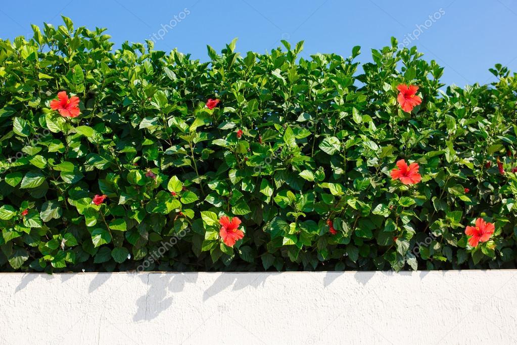 Fleurs du bush haie de verdure wir hibiscus rouge - Haie hibiscus de jardin ...