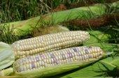 Waxy corn — Stock Photo