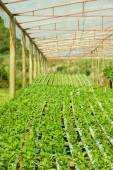 Plantas de rúcula en cultivo hidropónico — Foto de Stock