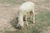 Sheep in animal farm — Photo