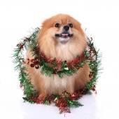 Pomeranian dog dressed christmas decoration — Stock Photo