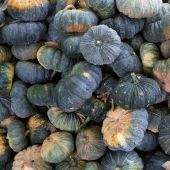 Green pumpkin vegetable of agriculture harvesting — Stock Photo