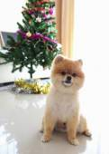 Pomeranian dog cute pet in home with christmas tree decoration — Stock Photo