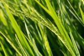 Paddy rice fields of agriculture cultivation — Stockfoto