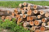 Eucalyptus tree, Pile of wood logs ready for industry — Stock Photo
