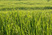 Paddy rice fields of agriculture cultivation — Stock Photo