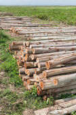 Eucalyptus tree, Pile of wood logs ready for industry — Stok fotoğraf