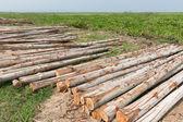 Eucalyptus tree, Pile of wood logs ready for industry — Stock fotografie