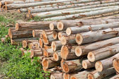 Eucalyptus tree, Pile of wood logs ready for industry — Foto Stock