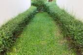 Groene struik hek in tuin met cement spleet muur achtergrond — Stockfoto