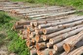 Eucalyptus tree, Pile of wood logs ready for industry — 图库照片