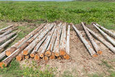 Eucalyptus tree, Pile of wood logs ready for industry — Photo