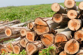 Eucalyptus tree, Pile of wood logs ready for industry — Stockfoto