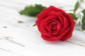 Red rose on white wood background — ストック写真