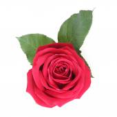 Red rose isolated on white background — Stock Photo