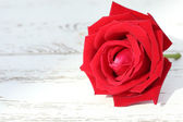 Red rose flower on white wood background — Stockfoto