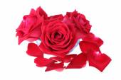 Red rose flower isolated on white background — Stock Photo