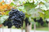 Grapes fruit in farm viticulture of agricultural — Stock Photo