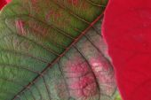 Red and green leaf of poinsettia tree — Stock Photo