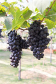 Grapes fruit in farm viticulture of agriculture — Stock Photo