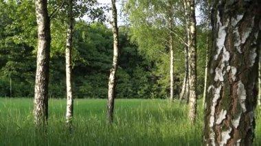 桦树在公园里 — 图库视频影像
