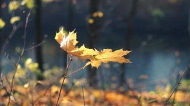 Autumn maple leaves — Stock Video