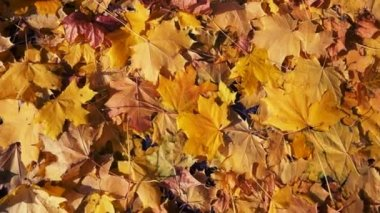 Autumn leaves background — Stock Video
