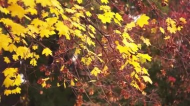 Autumn leaves maple — Stock Video