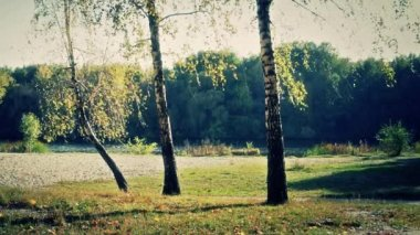 Three autumn birch — Stock Video
