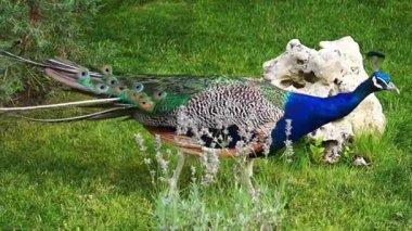 Peacocks in the park — Stock Video