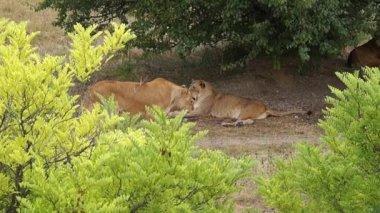 安静時のライオンズ — ストックビデオ