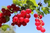 Redberries — Stock Photo