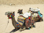 Camelus dromedarius — Stock Photo