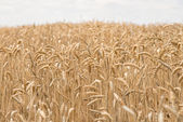Wheat field — Stockfoto