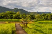Wood path along rice field — Stock Photo