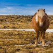 Icelandic Horse in dry glass field — 图库照片 #68604903