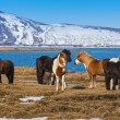 Icelandic Horses — Stock Photo #68608413