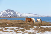 Icelandic horse with show mountain and lake — Stock Photo