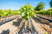 Field of rooted grafts of vine — Stock Photo
